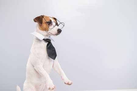 Jack russell terrier dog with glasses and tie on white background. Copy space Foto de archivo