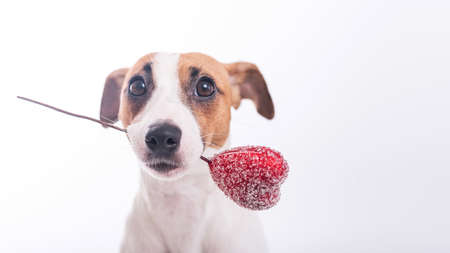 The dog holds a heart in his mouth on a white background. Greeting card with loving Jack Russell Terrier. Foto de archivo