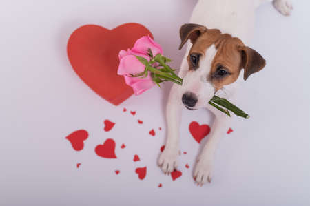 Portrait of a funny dog Jack Russell Terrier with flowers in his teeth and hearts around. Valentines day greeting card