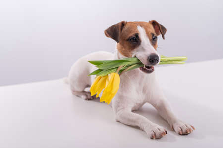 Portrait of a jack russell terrier in a bouquet of yellow tulips in his mouth on a white background. Dog congratulates on International Womens Day Foto de archivo