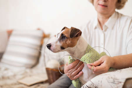 Elderly caucasian woman knits clothes for the winter for the dog jack russell terrier