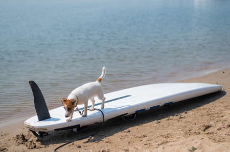 Jack russell terrier posing on a paddle board on the beach. Dog on a surf board