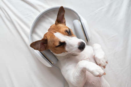 Cute dog jack russell terrier lies on his back on the bed and listens to music on headphones.