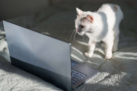 White cat sits at a laptop on the bed. 写真素材