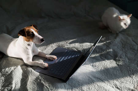 The dog and the cat lie on the bed. Jack Russell Terrier at the laptop.