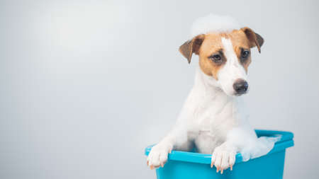 Funny friendly dog jack russell terrier takes a bath with foam on a white background 스톡 콘텐츠
