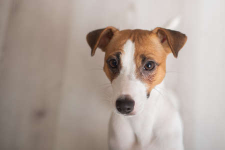 Cute doggy jack russell terrier on laminate flooring