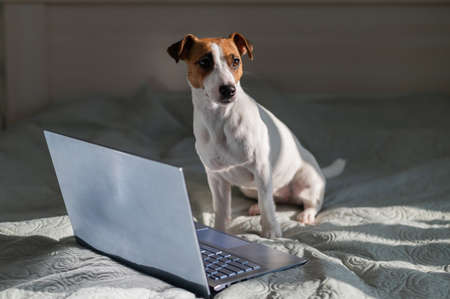 Smart dog jack russell terrier lies on the bed by the laptop. 写真素材