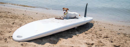 Jack russell terrier posing on a paddle board on the beach. Dog on a surf board. Widescreen. 写真素材