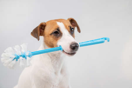 Jack russell terrier dog holds a blue toilet brush in his mouth. Plumbing cleaner 写真素材