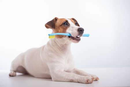 Smart dog jack russell terrier holds a blue toothbrush in his mouth on a white background. Oral hygiene of pets 写真素材