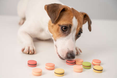 Jack russell terrier dog eating macaroon pies on a white background