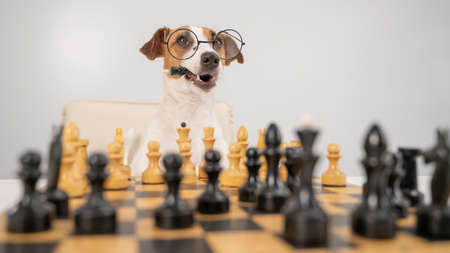 An intelligent dog with glasses plays chess and holds the opponents king in his mouth on a white background. Jack Russell Terrier checkmated in battle.