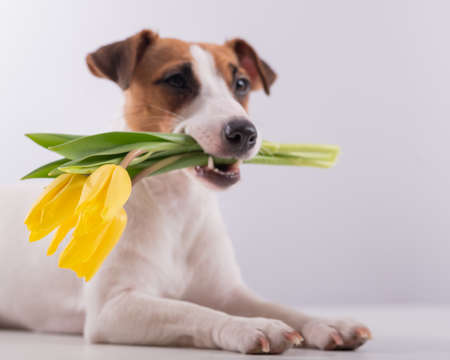 Portrait of a jack russell terrier in a bouquet of yellow tulips in his mouth on a white background. Dog congratulates on International Womens Day 写真素材