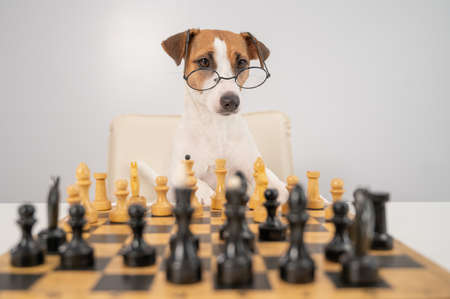 Smart dog jack russell terrier in glasses plays chess on a white background. 写真素材