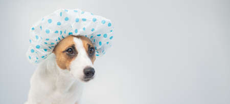 Funny friendly dog jack russell terrier takes a bath with foam in a shower cap on a white background. Copy space. Widescreen.