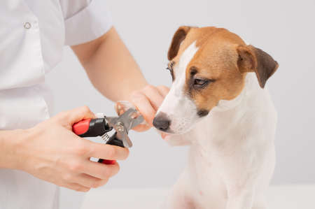 The veterinarian cuts the dog jack russell terriers claws on a white background. 写真素材