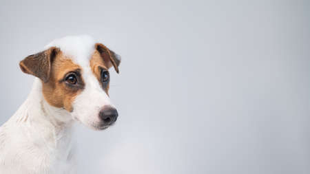 Funny dog jack russell terrier with foam on his head on a white background. Copy space. Widescreen. 写真素材