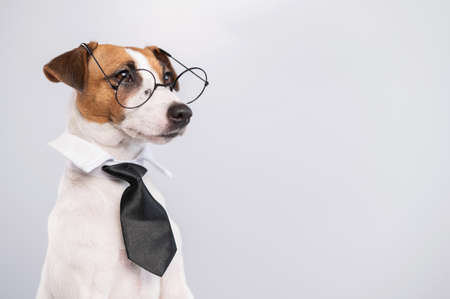 Jack russell terrier dog with glasses and tie on white background. Copy space 写真素材