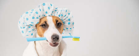 Portrait of a dog jack russell terrier in a shower cap and a towel holding a toothbrush in his mouth on a white background. Widescreen 写真素材