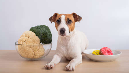 The dog chooses food. Jack russell terrier between plates of broccoli and cauliflower and donuts.