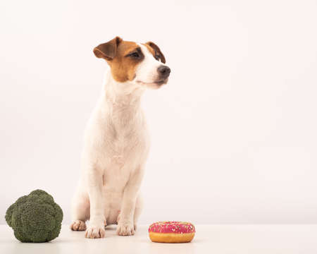 Dog jack russell terrier food choice. Food habits