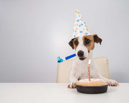 A cute dog jack russell terrier in a birthday hat holds a whistle and looks at a cake with a candle on a white background. Copy space