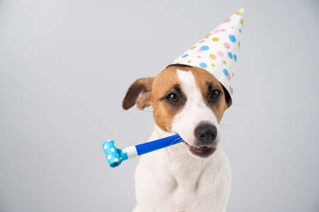 Funny Jack Russell Terrier dog wearing a birthday cap holding a whistle on a white background.