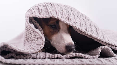 A cute little dog lies covered with a gray plaid. The muzzle of a Jack Russell Terrier sticks out from under the blanket 版權商用圖片