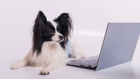 Smart dog papillon breed works at a laptop on a white background. Continental Spaniel uses a wireless computer. 版權商用圖片