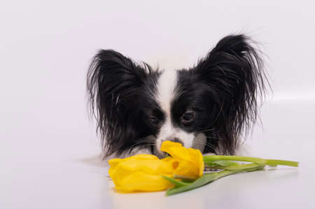 Funny dog with big shaggy black ears with a bouquet of yellow tulips on a white background 版權商用圖片