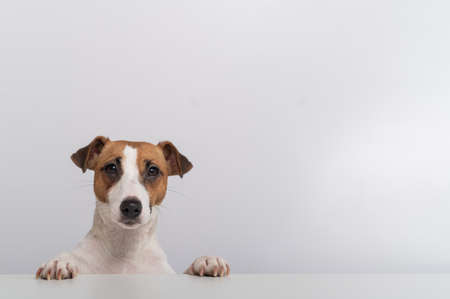 Gorgeous purebred Jack Russell Terrier dog peeking out from behind a banner on a white background. Copy space