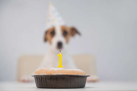 A cute dog in a festive cap sits in front of a cake with a burning candle number one. Jack russell terrier is celebrating his birthday