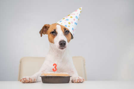 Jack russell terrier in a festive cap by a pie with a candle on a white background. The dog is celebrating its third birthday