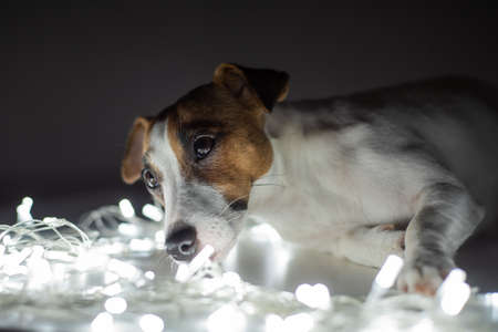 Jack russell terrier dog on a garland on christmas eve