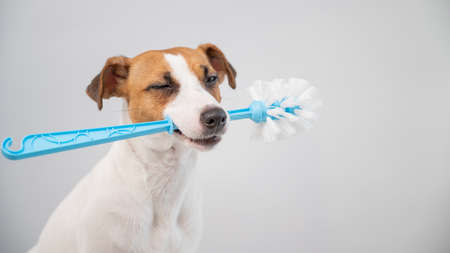 Jack russell terrier dog holds a blue toilet brush in his mouth. Plumbing cleaner 스톡 콘텐츠
