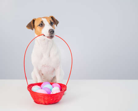 Jack russell terrier dog holding a red basket with colorful eggs for easter on a white background
