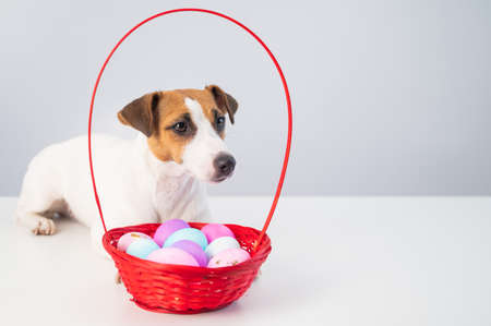 Jack russell terrier dog and a red basket with colorful eggs for easter on a white background