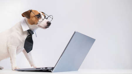 Smart dog jack russell terrier in a tie and glasses sits at a laptop on a white background.