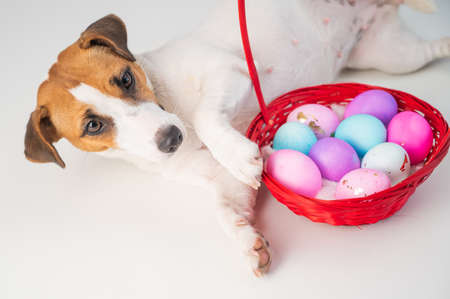 Top view of doggy jack russell terrier lying on a red basket with colorful eggs for easter on a white background