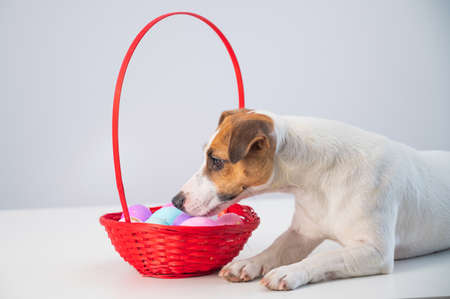 Top view of dog jack russell terrier lying on a red basket with colorful eggs for easter on a white background
