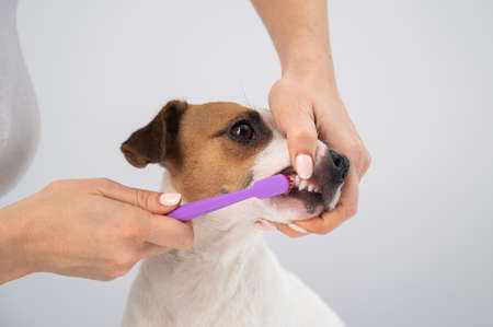 Woman brushing her dog jack russell terrier teeth on white background.