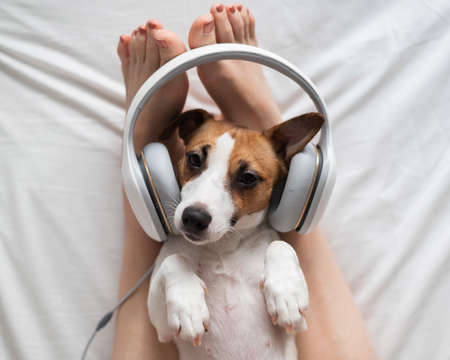 Cute dog jack russell terrier lies on its back on the legs of its owner and listens to music on headphones. Stock Photo