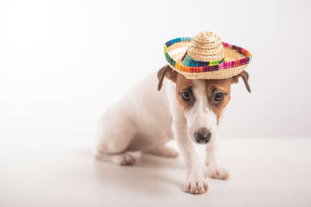 Portrait of a Jack Russell Terrier dog wearing a sombrero on a white background Stock fotó