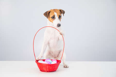 Portrait of doggy Jack Russell Terrier with a red basket with colorful eggs for Easter on a white background
