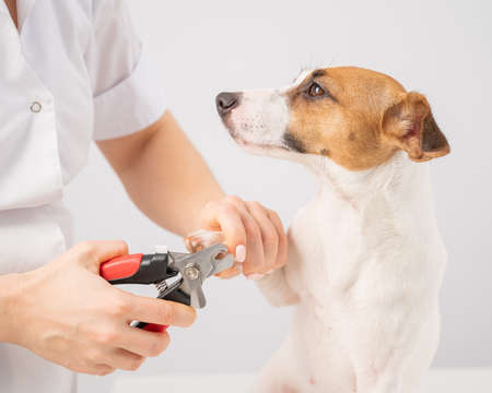 The veterinarian cuts the dog jack russell terriers claws on a white background. 스톡 콘텐츠