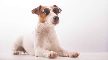Jack russell terrier dog portrait in sunglasses on white background