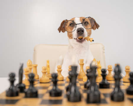 Smart dog jack russell terrier in glasses plays chess and holds a queen in his mouth on a white background.