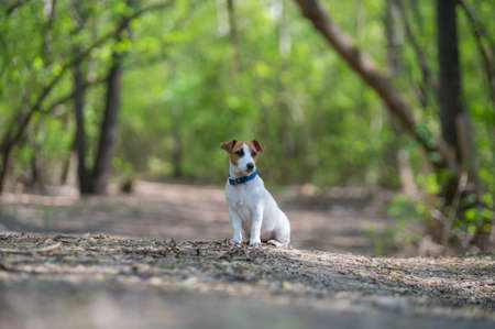 Lost dog jack russell terrier in the forest