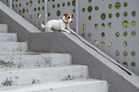 Sad frightened lost dog jack russell terrier sitting on the stairs alone outdoors